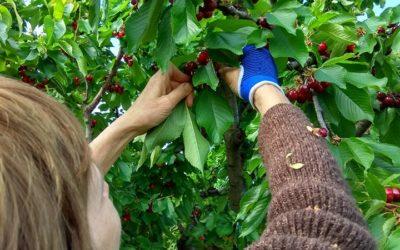 Hogyan kell szedni a cseresznyét?