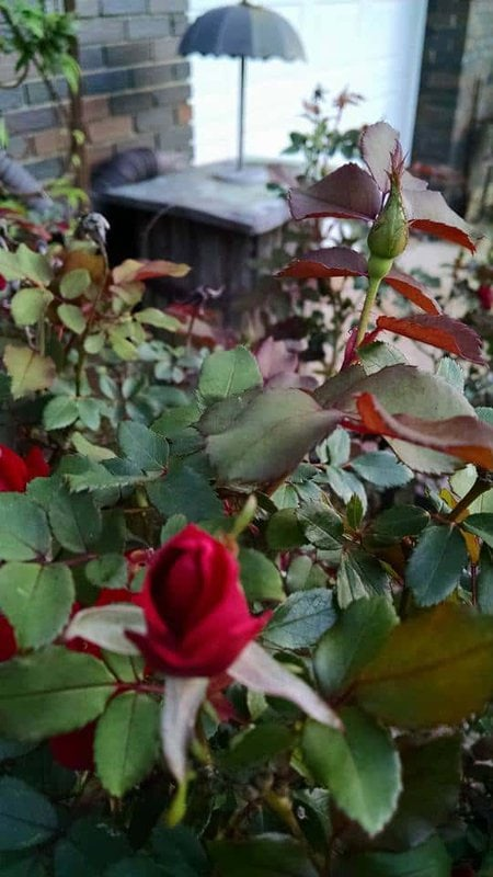 3 Care Tips for knockout roses