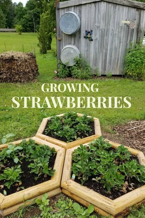 Three hexagon shaped strawberry beds in front of a wood barn with 2 washtubs hanging on it