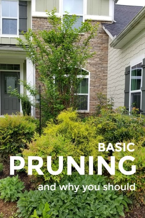 Foundation plantings in need of pruning