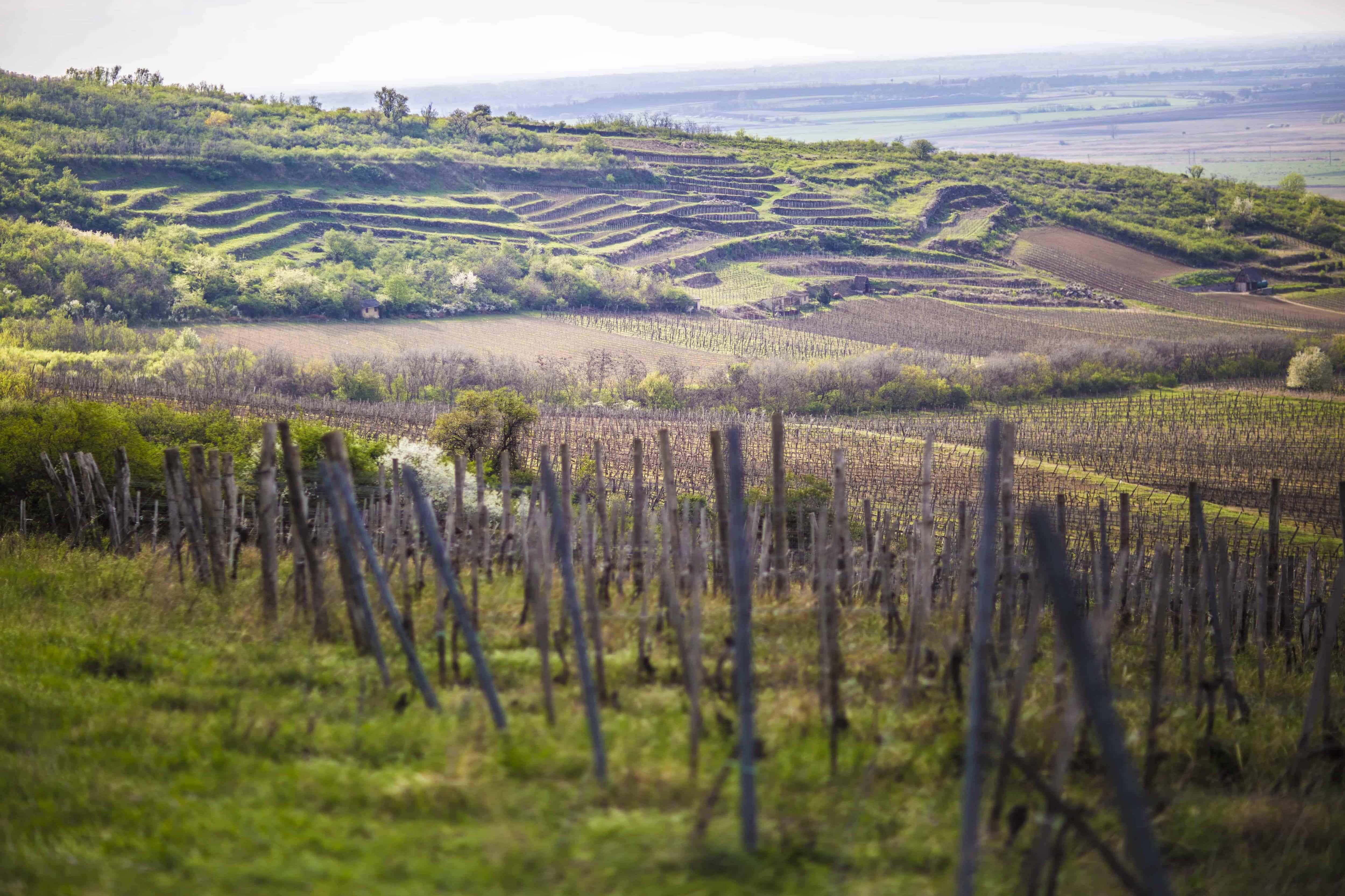 De trendiga toppdruvorna – vinprovning