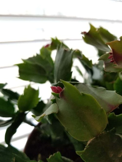 How to care for Christmas Cactus, Getting Christmas Cactus to Bloom, Thanksgiving Cactus, Easter Cactus