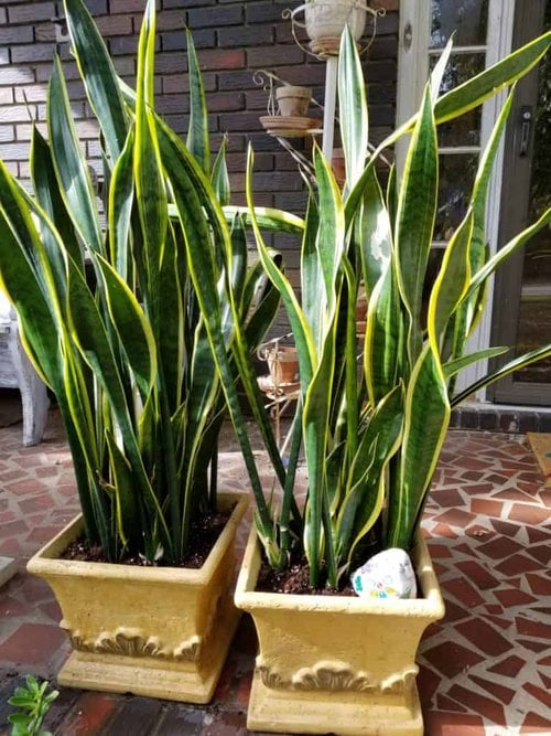 Easiest Care Plants for pots, Snake Plant