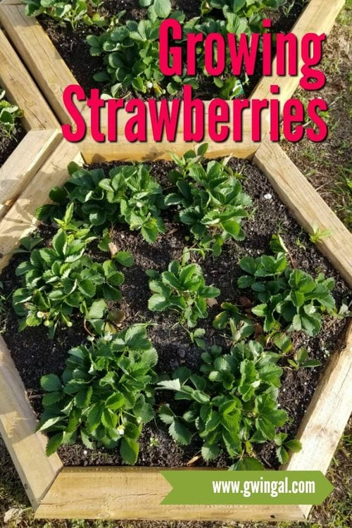 Strawberry Plants in Hexagon wood raised beds
