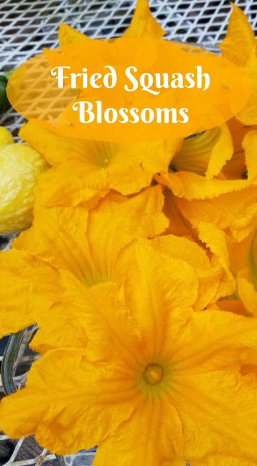 Fried squash blossoms, Using your garden produce, how to fry squash blossoms, how to pick squash blossoms for frying