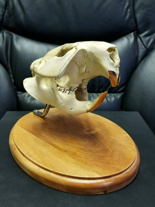 Beaver skull, Decorating with animal skulls, decorating with antlers
