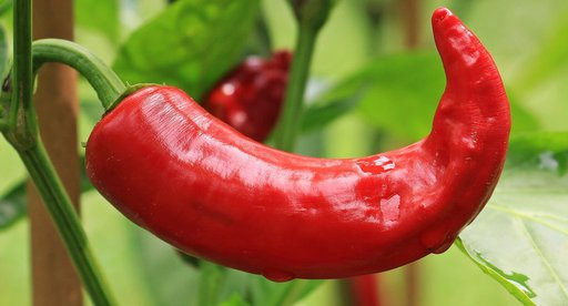 best companion plants to grow with peppers