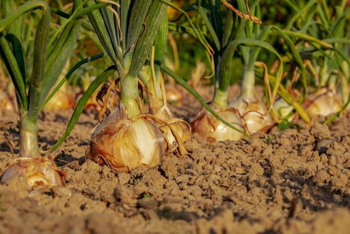 best fertilizers for onions