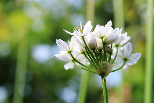 growing garlic chives