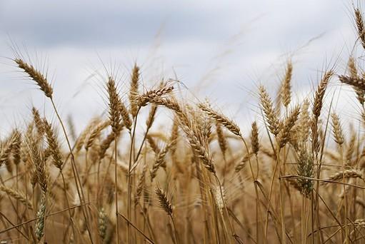growing wheat