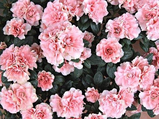 best fertilizers for azaleas