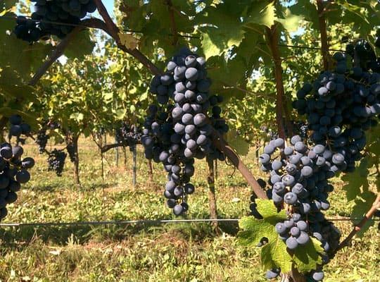 Wassmann grapes Ungern Villany