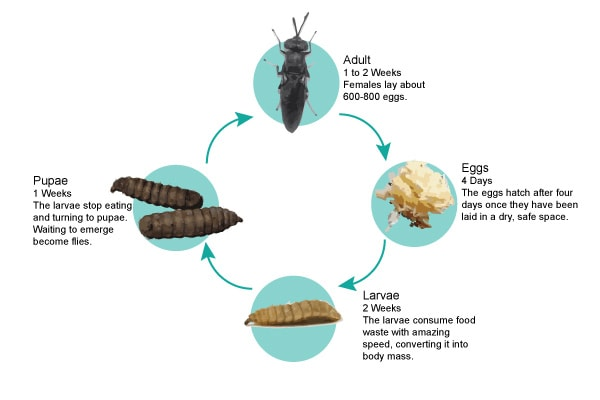 black soldier fly cycle