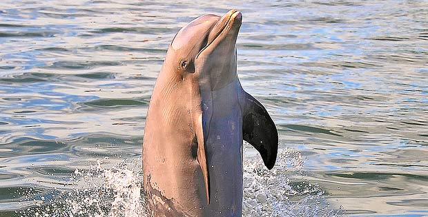 dancing dolphin