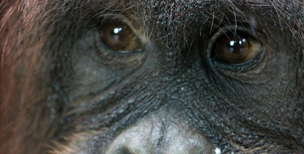 Orangutans from Britain's zoo learnt to click selfie