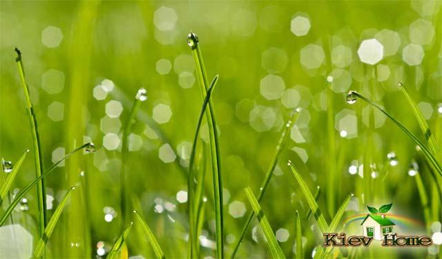 правильный полив газона в засуху