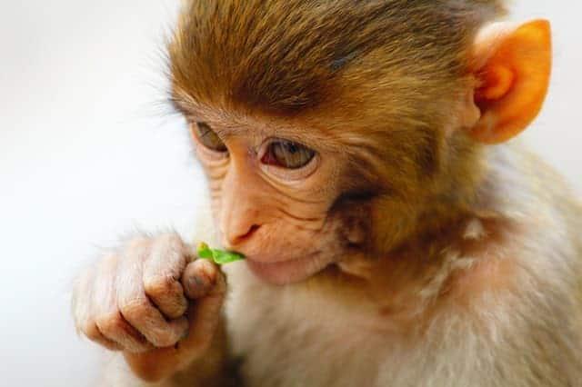 Tiny Monkey pet