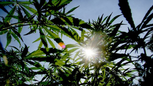 More California Pot Producers Remain Unlicensed