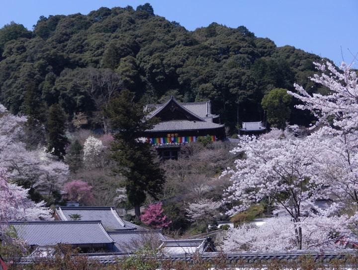 Цветение вишни в Японии.