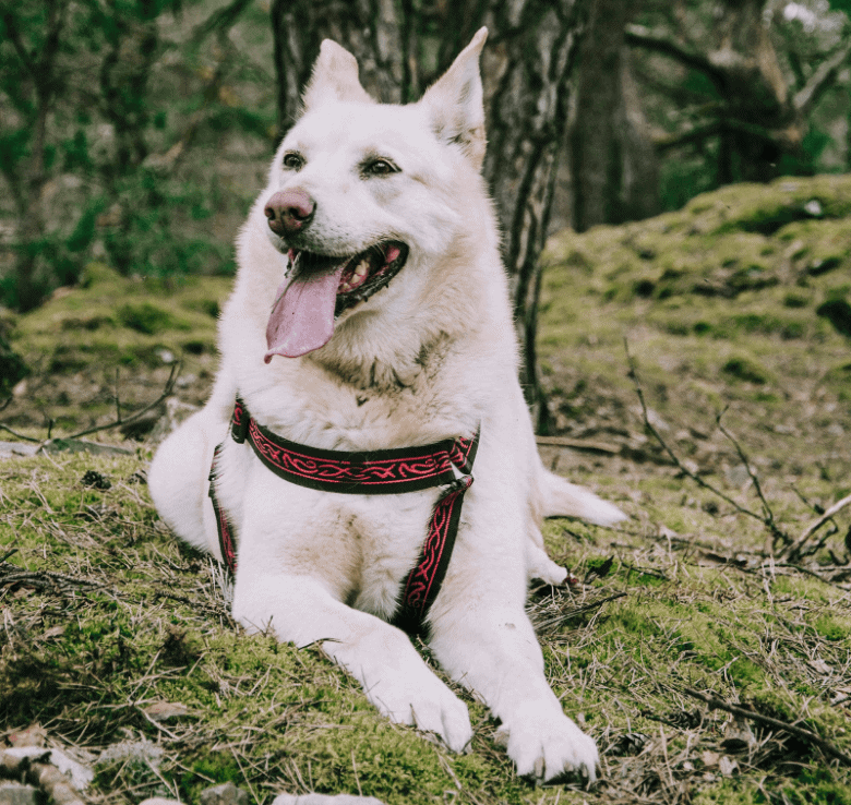 happy dog resting on forest grass
