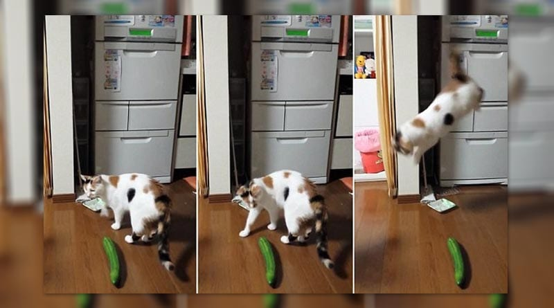 Cats scared of cucumbers.Don't try it with your pet!