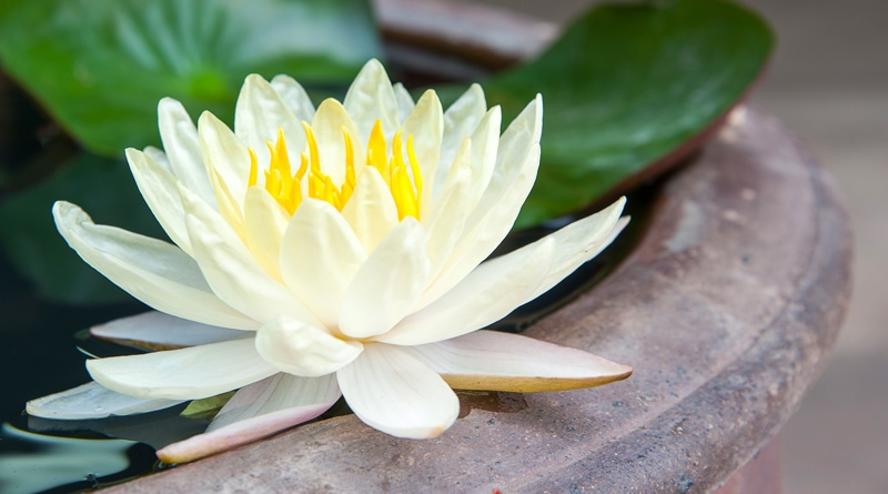 How to Grow Lotus at Home