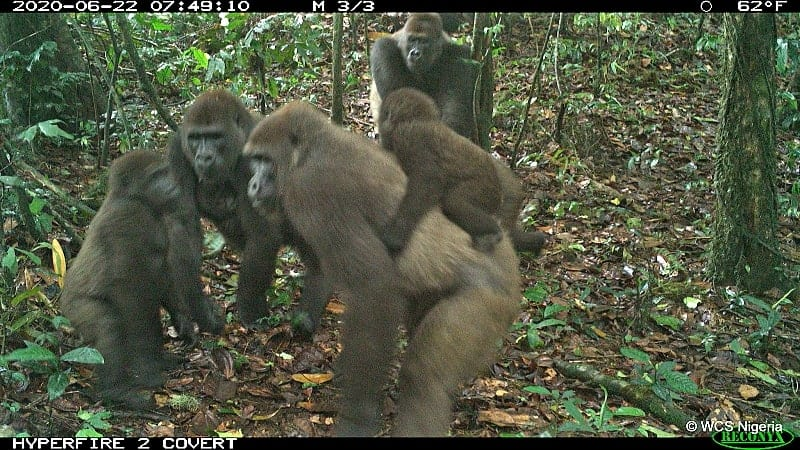 Cross River gorilla group including adults and young of different ages Mbe Mountains, Nigeria June 2020.