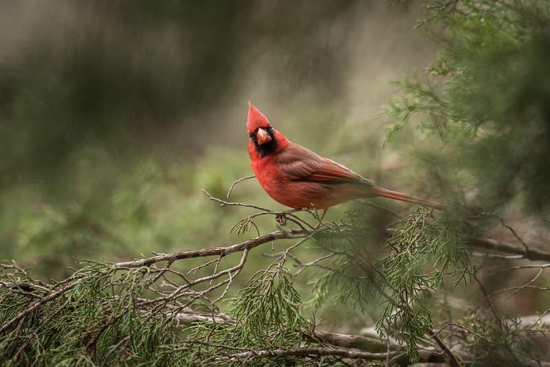 Beautiful bright red cardinal seen at the bird blind at Pedernales Falls State Park