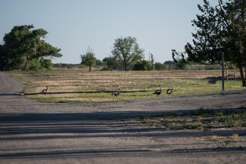 4 Turkey crossing the gravel road