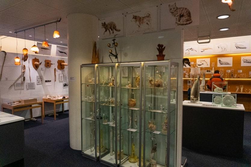 animal specimens in icelandic phallological museum