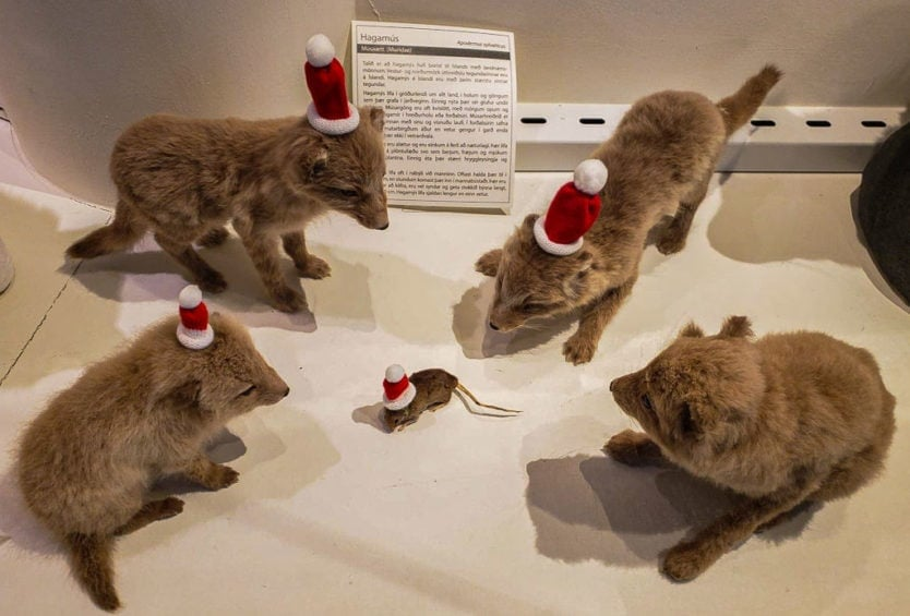 natural history museum of Kopavagur, Iceland display of taxidermy foxes with santa hats for christmas