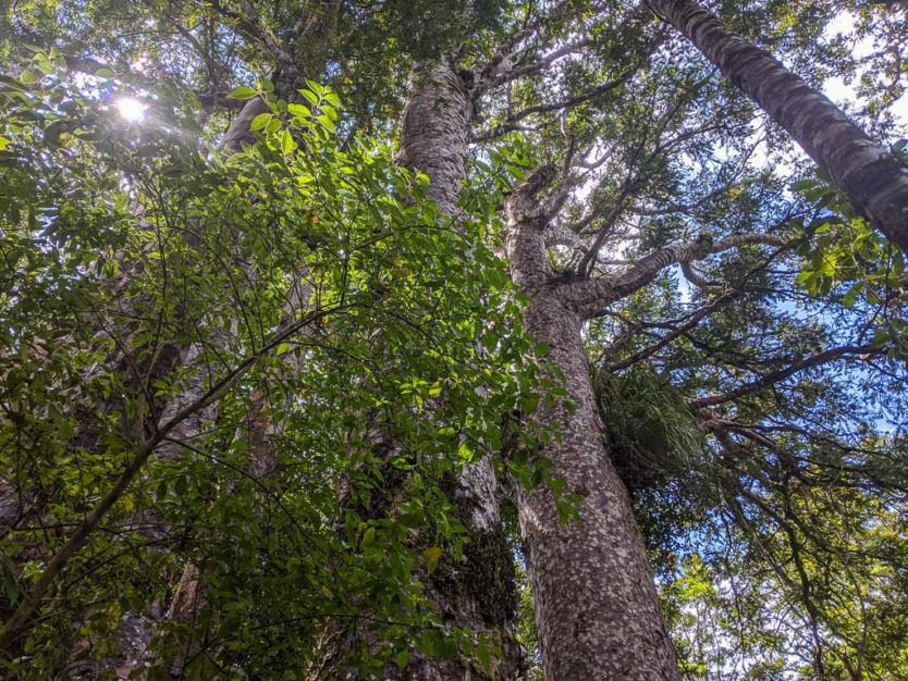 giant kauri tree in waipoua forest trail