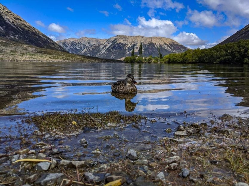 Duck on the water at Lake Pearson near Arthur's Pass with mountains