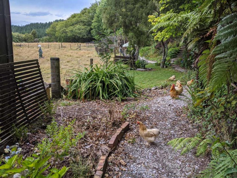 Chickens wondering the grounds at an eco-sanctuary in New Zealand