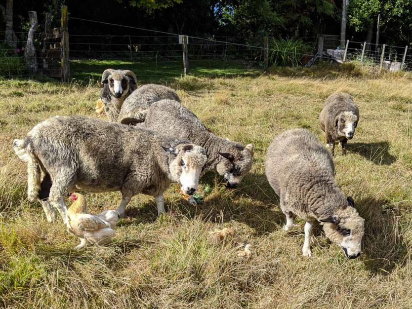 Mount tutu sheep and chickens with chicks during feeding time at an eco-sanctuary