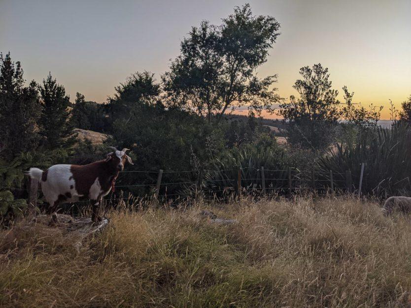 goat watching Sunset at mount tutu eco-sanctuary