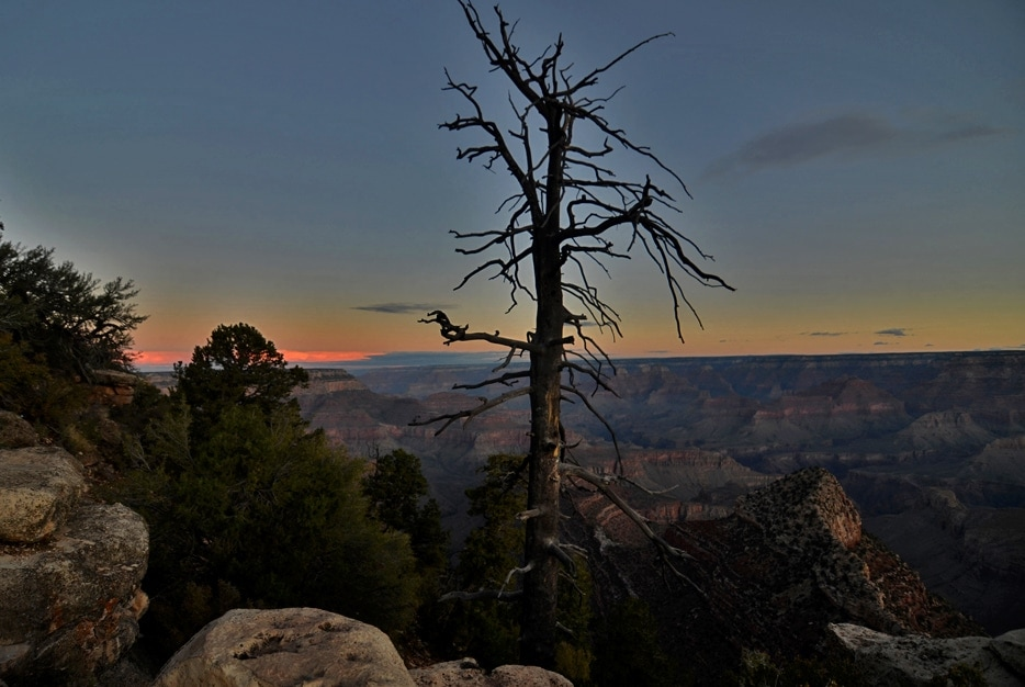 A dead tree growing within the  rocks of the Grand Canyon