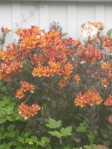 Findhorn Sunflower - Flowers - C