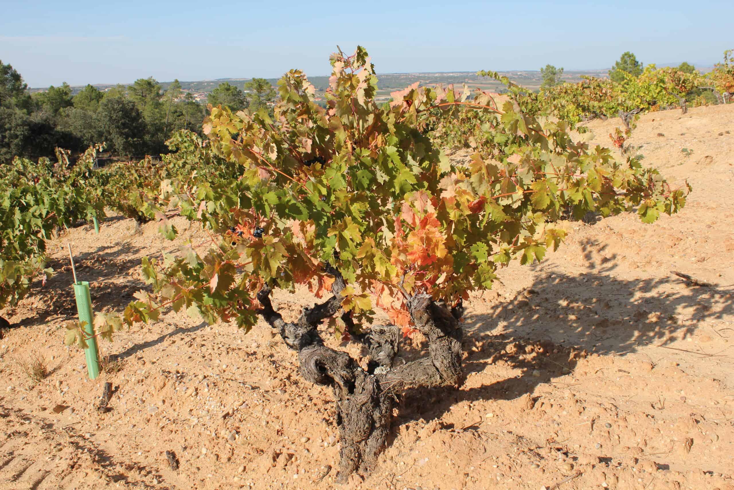 gamla vinrankor