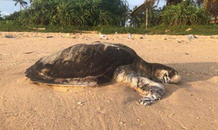 Más de Cien de tortugas muertas, el impacto ecológico del incendio del buque carguero X-Press Pearl,