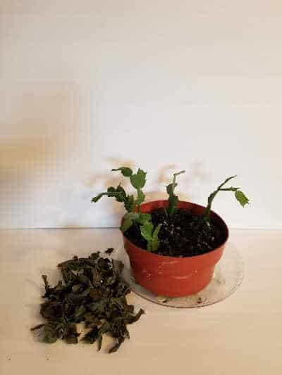 Revive a Christmas Cactus by removing all dead pieces and putting them in the compost