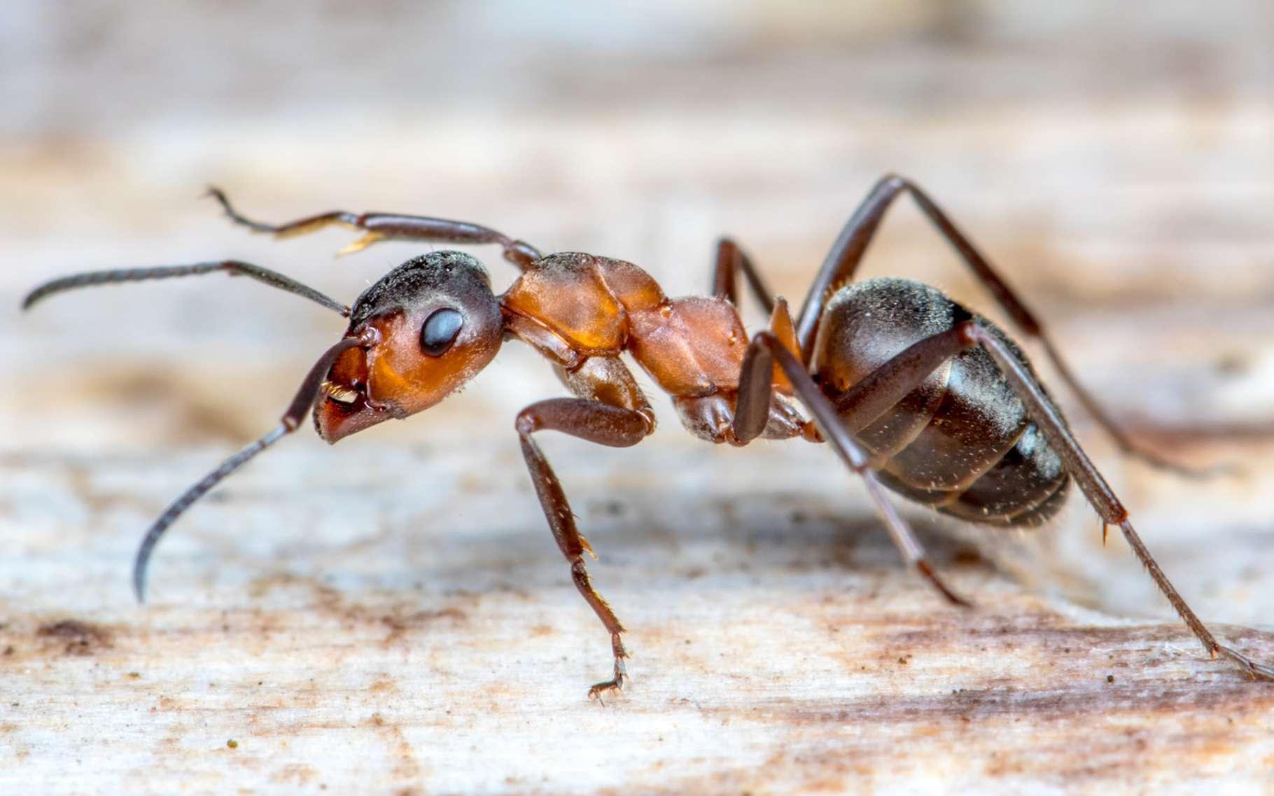 Lutte contre les fourmis : notre service de Dératisation Désinsectisation en Vendée.