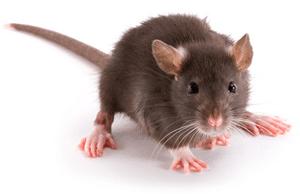 Besoin de vous débarrasser des rats, souris, fouine ? Faites appel à SOS Nuisibles 85