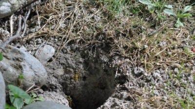 présence d'un nid de guêpes ou de frelons sous terre