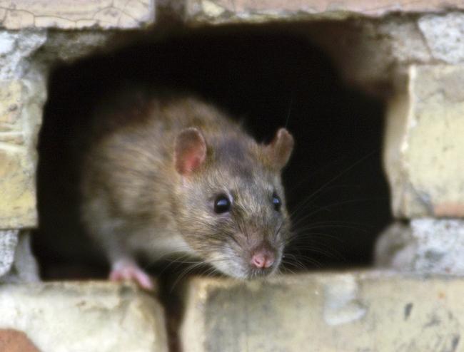 Lutte contre les rats : notre service de Dératisation Désinsectisation en Vendée.