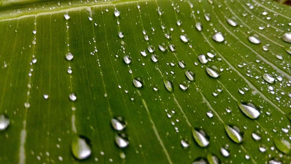 drops of water on banana leave
