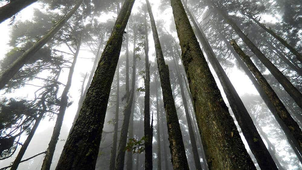 Trees with mist