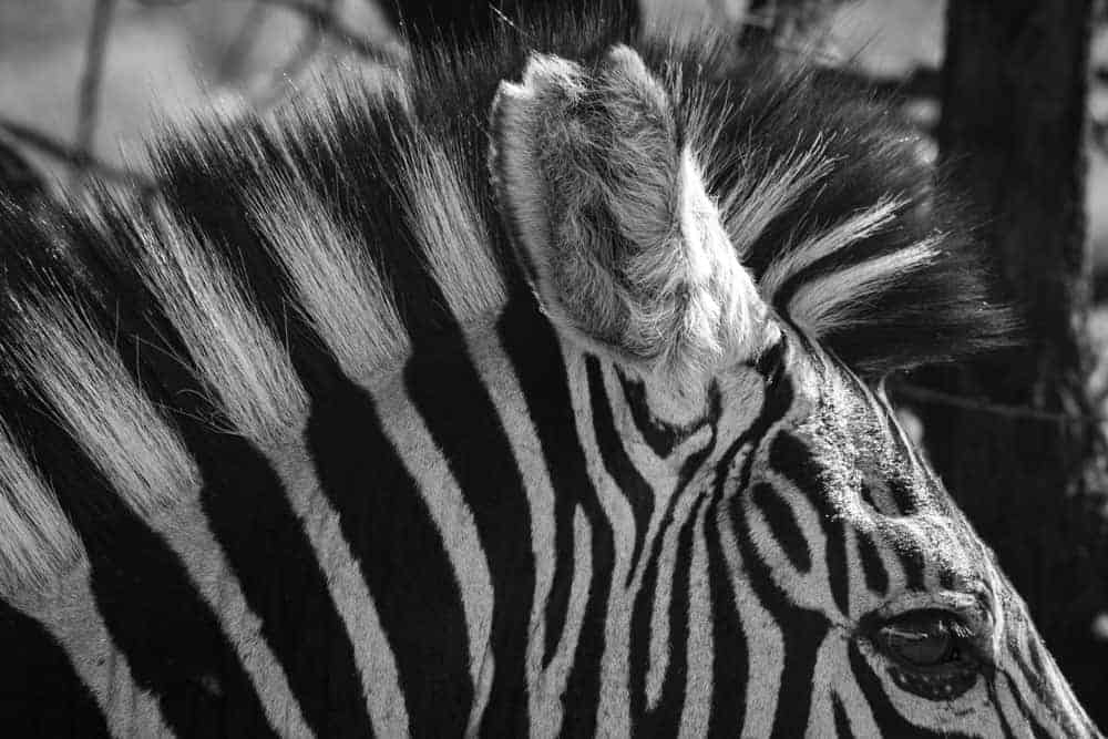 Texture Photography zebra