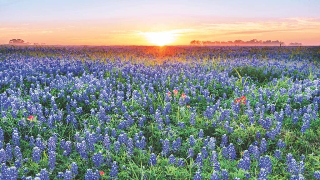 Hill Country Wildflowers.