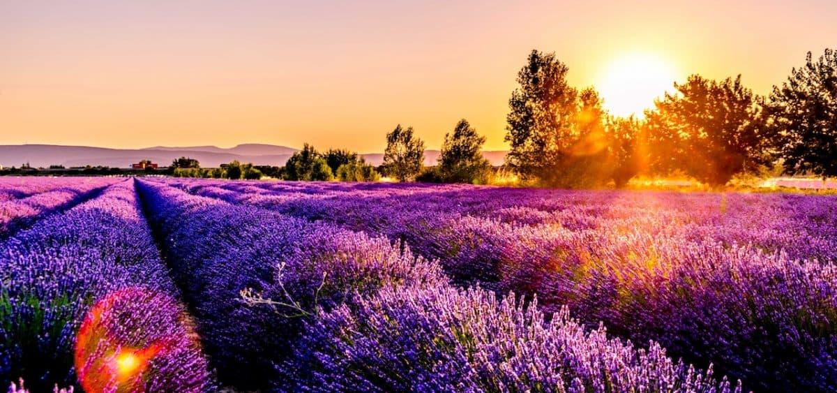 lavender fields provence